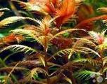 Аквариумные растения (Прозерпинака палюстрис)
